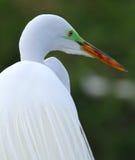 De witte Aigrette van Florida Royalty-vrije Stock Afbeeldingen