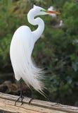 De witte Aigrette van Florida Stock Foto's