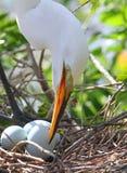 De witte Aigrette van Florida Royalty-vrije Stock Fotografie