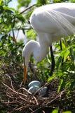De witte Aigrette van Florida Stock Foto