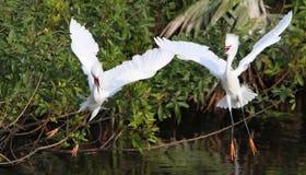 De witte Aigrette van Florida Royalty-vrije Stock Foto's