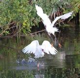 De witte Aigrette van Florida Stock Afbeelding