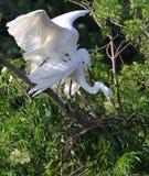 De witte Aigrette van Florida Stock Afbeeldingen