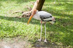 De witte Aigrette zoekt voedsel in de dierentuin, Thailand Royalty-vrije Stock Fotografie