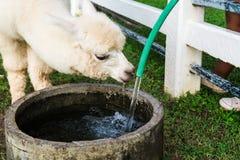 De witte Alpaca wordt gebogen om het water te drinken dat van de buis stroomt stock foto