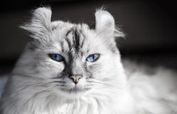 De witte Amerikaanse kat van de Krul met blauwe ogen stock afbeeldingen
