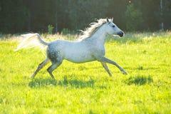 De witte Arabische galop van de paardlooppas in het zonsonderganglicht stock foto