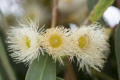 De witte Australische Bloesems van de Eucalyptusgom Stock Afbeeldingen