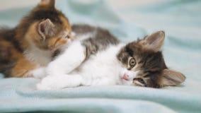 De witte beet van twee katjes speelslaap elkaar Grappige beet twee die speelse weinig haarkatjes bestrijden die met elk spelen stock video