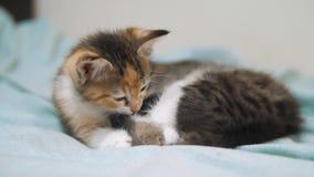De witte beet van twee katjes speelslaap elkaar het kleine katje bijt de staart van een ander katje twee kleine katjes a zijn stock footage