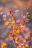 De witte berk Nana, de dwergberk, is species van berk in de familie Betulaceae, vond hoofdzakelijk in de toendra van het Noordpoo stock afbeeldingen