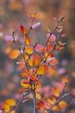 De witte berk Nana, de dwergberk, is species van berk in de familie Betulaceae, vond hoofdzakelijk in de toendra van het Noordpoo royalty-vrije stock fotografie