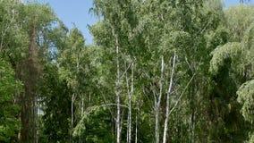 De witte berkbomen in het bos worden verwijderd stock video