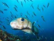 De witte bevlekte Eilanden Ecuador van de Galapagos van kogelvis mariene vissen stock afbeelding