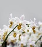 De witte bevlekte tak van de orchideebloem stock afbeeldingen