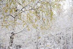 De witte bladeren van de berkkleur stock foto