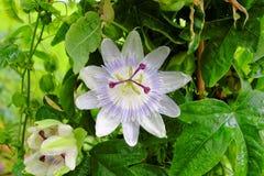 De witte bloei van de hartstochtsbloem royalty-vrije stock fotografie