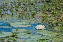 De witte bloei van de lotusbloembloem in een vijver van leliestootkussens Royalty-vrije Stock Afbeeldingen