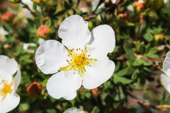 De witte bloem met gele bloesem en blured achtergrond stock foto