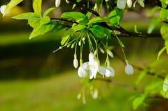 De witte bloem is naam Mok Royalty-vrije Stock Afbeelding