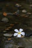 De witte bloem stroomt langs het water Stock Foto's