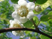 De witte bloem van Actinidiadeliciosa stock foto's