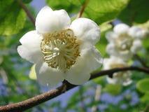 De witte bloem van Actinidiadeliciosa royalty-vrije stock afbeeldingen