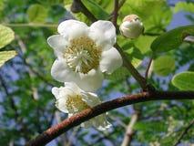 De witte bloem van Actinidiadeliciosa stock fotografie