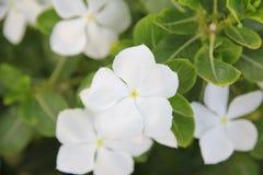 De witte bloem van de Amerikaanse veenbesstruik Stock Fotografie