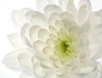 De witte bloem van de Chrysant Royalty-vrije Stock Foto's