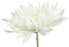 De witte Bloem van de Chrysant Stock Foto's
