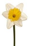 De witte Bloem van de Gele narcis van de Lente Royalty-vrije Stock Afbeeldingen