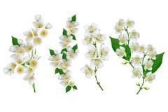 De witte Bloem van de Jasmijn Stock Afbeeldingen