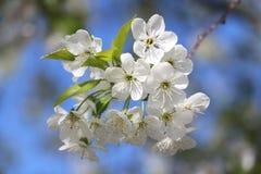 De witte bloem van de kersenboom Stock Foto