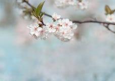 De witte bloem van de kersenboom in de lente Royalty-vrije Stock Afbeelding