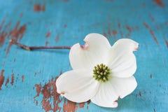 De witte Bloem van de Kornoelje Stock Foto