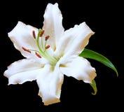 De witte bloem van de Lelie op zwarte Stock Foto