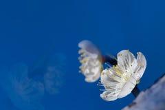 De witte bloem van de Pruim met aardige kleur als achtergrond Royalty-vrije Stock Fotografie
