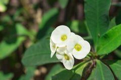 De witte bloem van Desmoul van Wolfsmelkmilli Royalty-vrije Stock Afbeelding