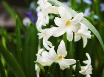 De witte bloem van de de lentehyacint kwam foto tot bloei sluit omhoog achtergrond royalty-vrije stock foto