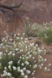 De witte bloem van Pepperplant van Jones in Utah Royalty-vrije Stock Fotografie
