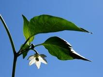 De witte bloem van de Spaanse peperpeper Stock Afbeeldingen