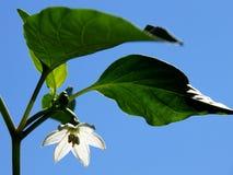 De witte bloem van de Spaanse peperpeper Royalty-vrije Stock Afbeeldingen