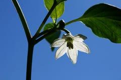 De witte bloem van de Spaanse peperpeper Stock Afbeelding