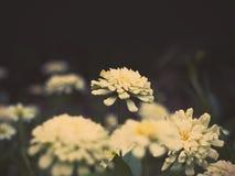 De witte bloem van Zinnia over donkere achtergrond Stock Fotografie
