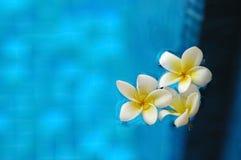 De witte bloemen die van frangipaniplumeria op blauw water in arom drijven Stock Fotografie