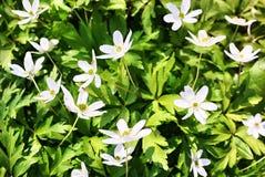De witte bloemen groeien in de de lente Zonnige bosdetails en het close-up stock foto's