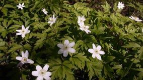 De witte bloemen groeien in de de lente Zonnige bosdetails en het close-up stock videobeelden