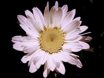 De witte Bloemen houden Meer steek stock foto