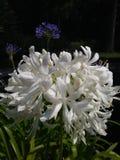 De witte Bloemen sluiten omhoog Stock Foto's